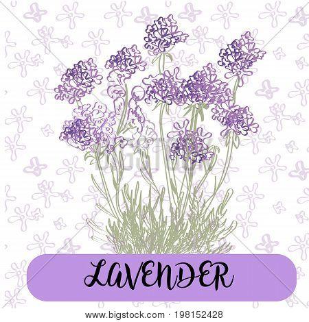 lavender flowers elements. Botanical. Collection of lavender flowers on a white background. Vector illustration bundle.Violet