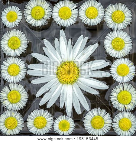square natural holiday symmetrical pattern background of chamomile flowers big at the middle and small at the sides.