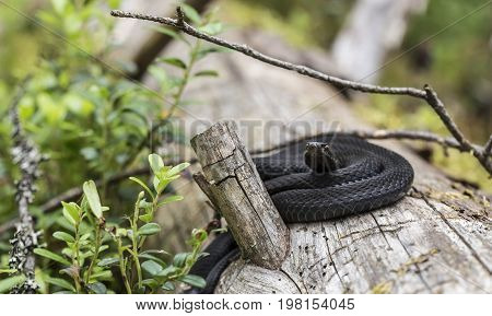 Beautiful black common viper (Vipera berus) in a natural habitat curled up in a ball on an old fallen tree in the forest. Close-up.