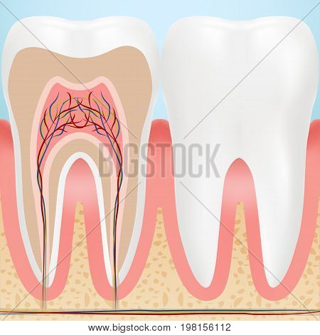 Anatomy Of Healthy Teeth Isolated On A Background. Vector Illustration. Stomatology. Teeth And Tooth Concept Of Dental
