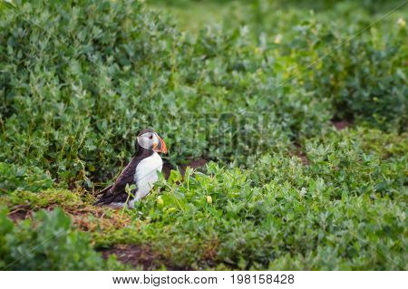 Farne islands Puffin walks to burrow - Puffins winter in the oceans returning to land for the breeding season where they nest in burrows