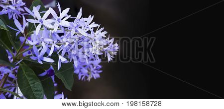 Selective focus on Sandpaper vinethe beautiful blue flowers with copy space.