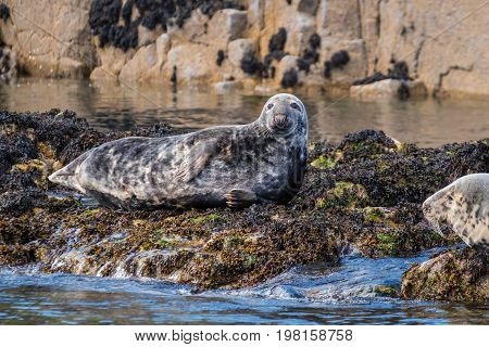 Grey Seals at Farne Islands - The Farne Islands are a breeding ground for Grey Seals. They usually pup in the autumn months