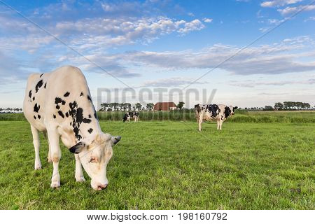 Black And White Cows In The Grassland Of Groningen