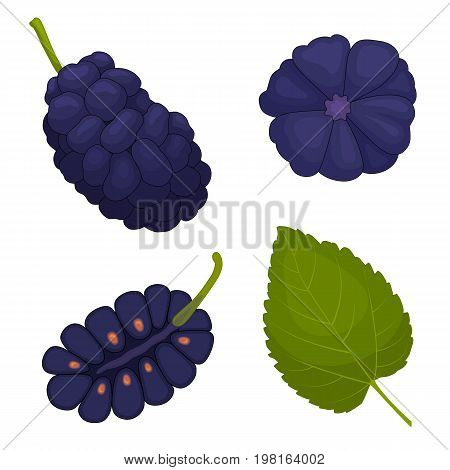 Mulberry vector. Berry mulberries in different angles. The whole half and leaf. Detailed illustration.