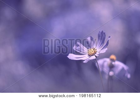 Flowers cosmos purple color located in the lower right corner with a beautiful background. Flowers with beautiful toning