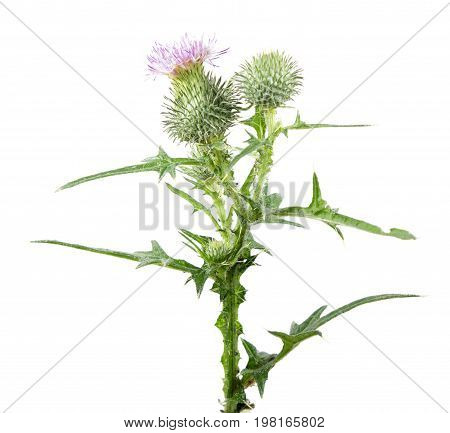 Common thistle (Cirsium vulgare) isolated on white background. Medicinal plant