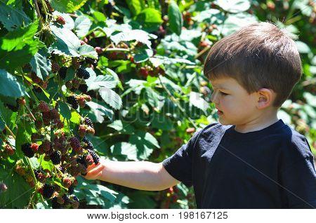Little boy picking blackberries in garden. Child picking and eating ripe blackberry