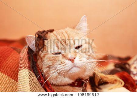 Closeup portrait of nice ginger domestic cat under plaid blanket