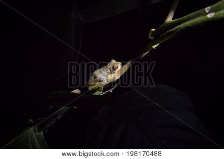 Red eyed frog in a branch at night in the Monteverde Cloud Forest in Costa Rica