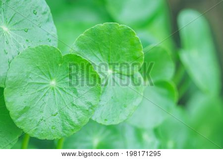 Asiatic green leaf gently lifts up the leaves to receive light that splash into the bright and refreshed in the morning of the new day.