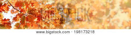 Beautiful autumn leaves, treetop illuminated with autumn sunlight