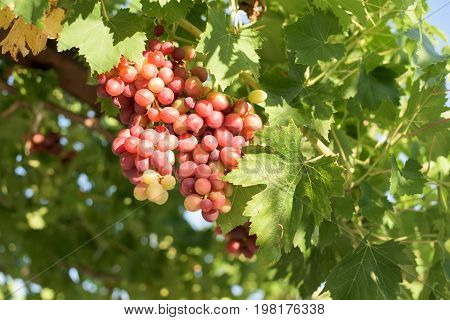 Ripe red grape in a wine yard