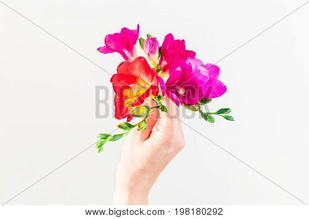 Freesia in a female hand on white background. Flat lay, top view