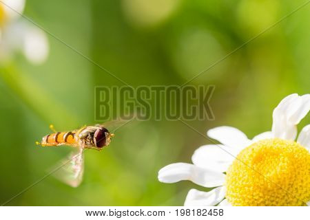 Small Flying Wasp Is Going To Land On Small Flower