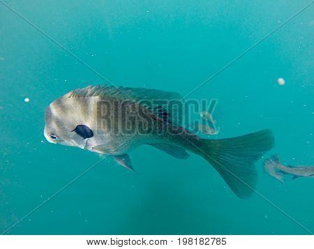 a crappie fish swimming around blue waters