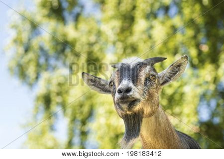 African dwarf goat staring apprehensively in the camera.