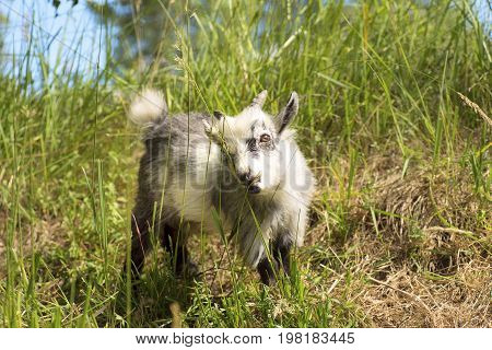 Young African dwarf goat eating green grass.
