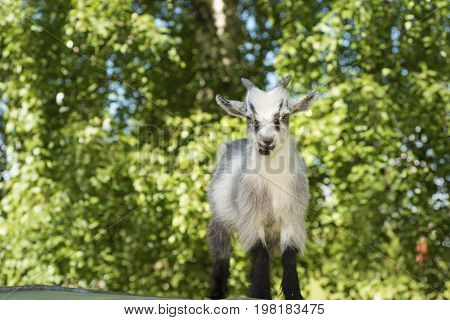 Young male African dwarf goat in front of the camera.