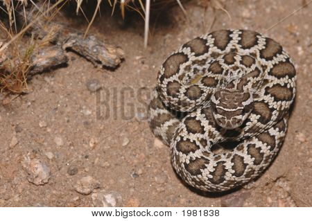 A juvenile southern Pacific rattlesnake from southern California. poster