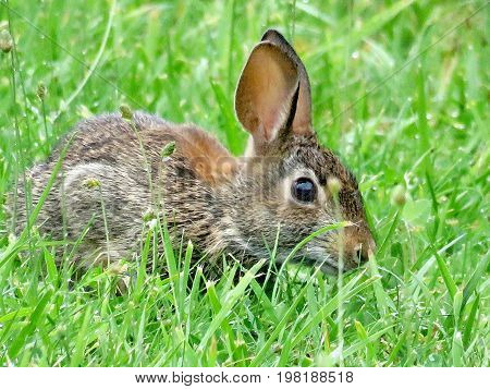 The eastern cottontail rabbit isolated in forest of Thornhill Canada August 2 2017