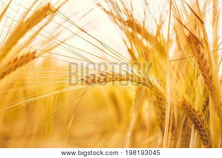 Golden wheat ripe in the field. Wheat stalk and grain close up selective focus soft shades of yellow and orange background. Summer harvest concept for food growing crops health nutrition agriculture.