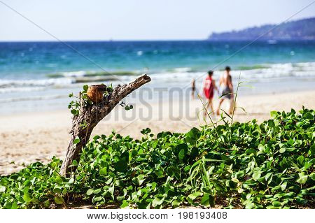 Bangtao Beach Phuket Thailand. Trunk of an old tree with coconut and green grass in the foreground. Blurried silhouettes of people in the background
