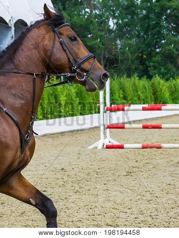 Bay dressage horse, show jumping surfaces with white and red fence on the background. Bay horse portrait during dressage competition.