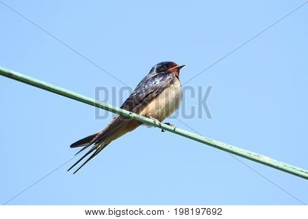 Barn Swallow (Hirundo rustica) on a wire with a blue sky background