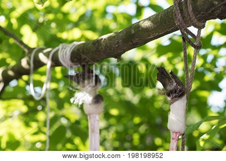 Calf hanging on the tree tied by legs process disassembly veal Ukraine
