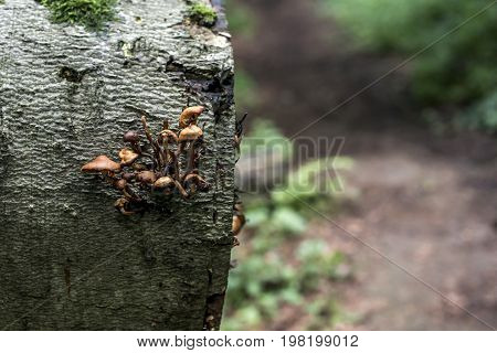 Bracket fungus growing from the stump of a dead beech tree. Forest germany bokeh background