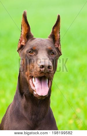 Young Brown Doberman Dog