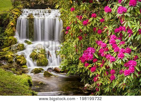 Waterfall and Rhododendrons at a Dorset beauty spot