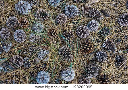 Background with pine cones and dry fir-needles. Summer nature pine cones texture.