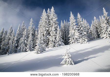 Snowy Fir Trees And Blue Sky