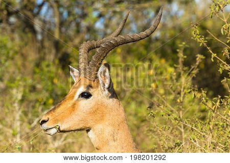 Buck Wildlife Animal Closeup