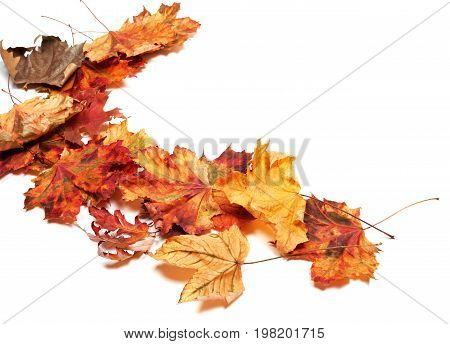 Autumn Multicolor Dry Maple Leafs