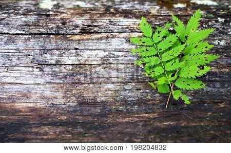Green fern leaf on wooden old background