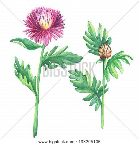 The branch flowering pink spotted knapweed (names: Centaurea maculosa, whitewash cornflower, meadow thistle), isolated on white background. Watercolor hand drawn painting illustration.