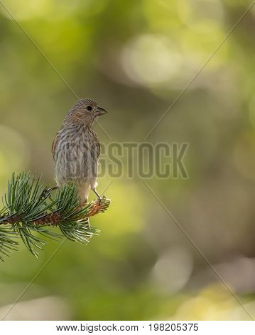 Backlit Female Crossbill on a Pine Branch