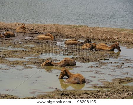 Wide shot of a herd of deer soaking in the mud to cool off on a hot day