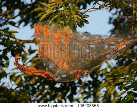 Silken webs of webworms wrap around the branch of a tree killing all the leaves