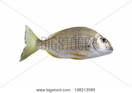 The Tarwhine Rhabdosargus sarba is variety of bream with a striking silver body horizontal golden stripes yellow pelvic and anal fins and rounded head profile.