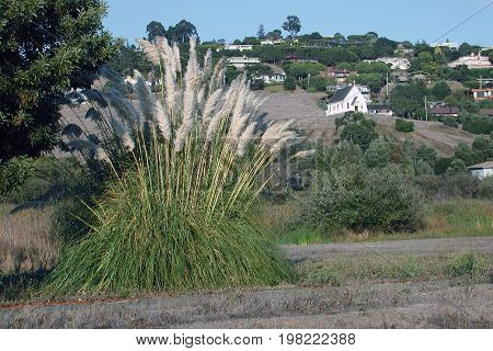 A bunch of tall Pampas grass (Cortaderia) with a small white church on a hill in the distance.