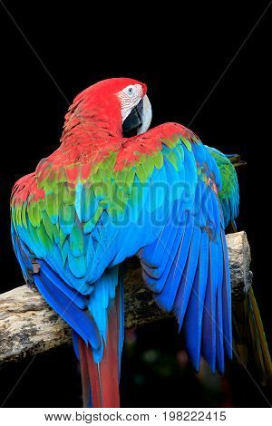 beautiful colorful feather of scarlet macaws bird perching on dry branch