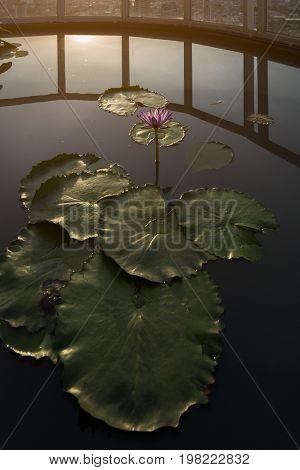 Lotus flower and leafs above the pool on top of the condominium rooftop with background of the Bangkok city