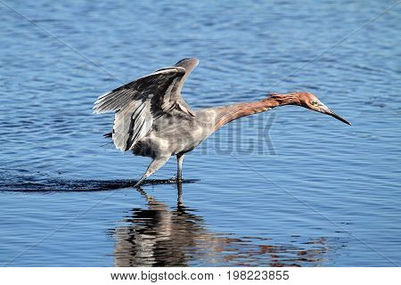 Reddish Egret (Egretta rufescens) hunting in the Florida Everglades