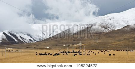 A herd of yaks in front of snowy mountains in clouds in Tibet panoramic background