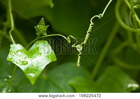 Beautiful top gourd Ivy gourd on nature wall The concept of hope