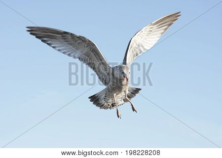 Ring-billed Gull (larus delawarensis) in flight over the beach with a blue sky background